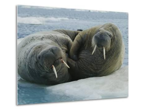 Two Atlantic Walruses Rest on an Ice Floe-Norbert Rosing-Metal Print