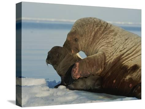 A Mother Walrus, Odobenus Rosmarus, Nuzzles Her Calf-Norbert Rosing-Stretched Canvas Print