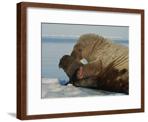 A Mother Walrus, Odobenus Rosmarus, Nuzzles Her Calf-Norbert Rosing-Framed Art Print