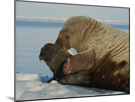 A Mother Walrus, Odobenus Rosmarus, Nuzzles Her Calf-Norbert Rosing-Mounted Photographic Print