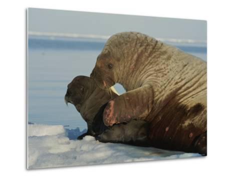A Mother Walrus, Odobenus Rosmarus, Nuzzles Her Calf-Norbert Rosing-Metal Print