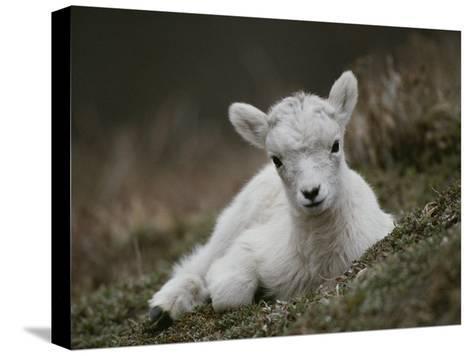 Portrait of a Juvenile Rocky Mountain Goat-Michael S^ Quinton-Stretched Canvas Print