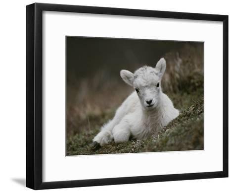Portrait of a Juvenile Rocky Mountain Goat-Michael S^ Quinton-Framed Art Print