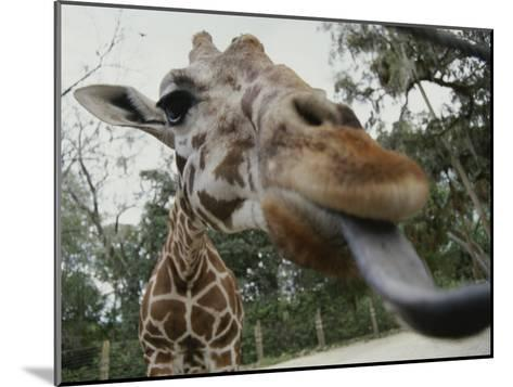 The Long Blue Tongue of a Giraffe Reaches out Toward the Camera--Mounted Photographic Print
