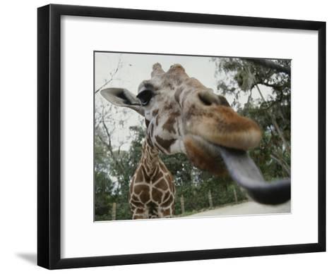 The Long Blue Tongue of a Giraffe Reaches out Toward the Camera--Framed Art Print