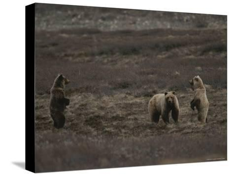 Two Grizzly Bears Face Each Other as If Looking for a Fight-Michael S^ Quinton-Stretched Canvas Print