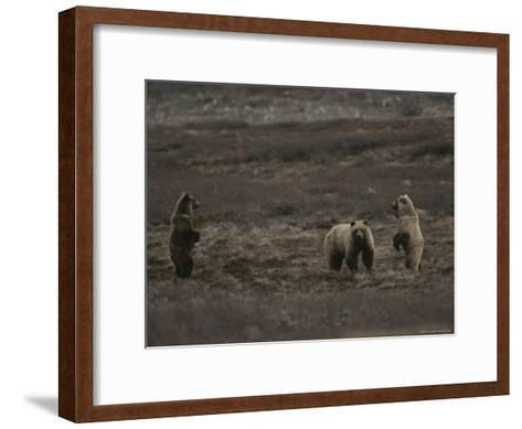 Two Grizzly Bears Face Each Other as If Looking for a Fight-Michael S^ Quinton-Framed Art Print