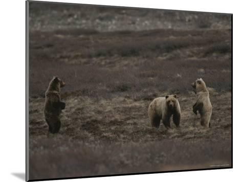 Two Grizzly Bears Face Each Other as If Looking for a Fight-Michael S^ Quinton-Mounted Photographic Print
