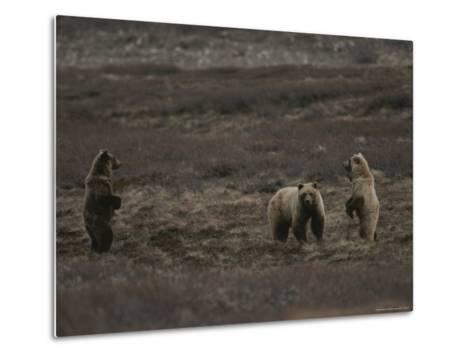 Two Grizzly Bears Face Each Other as If Looking for a Fight-Michael S^ Quinton-Metal Print