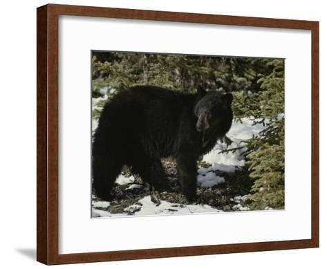 A Black Bear Takes a Look Around-Michael S^ Quinton-Framed Art Print