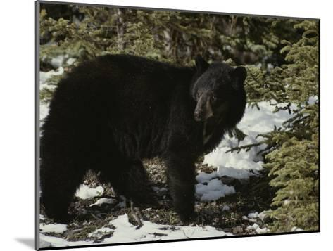 A Black Bear Takes a Look Around-Michael S^ Quinton-Mounted Photographic Print