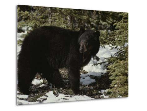 A Black Bear Takes a Look Around-Michael S^ Quinton-Metal Print