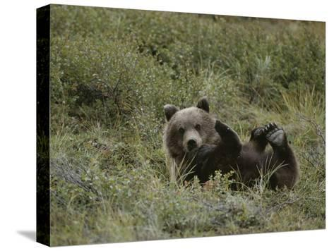 A Grizzly Lounges in a Humorous Position-Michael S^ Quinton-Stretched Canvas Print