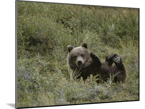 A Grizzly Lounges in a Humorous Position-Michael S^ Quinton-Mounted Photographic Print