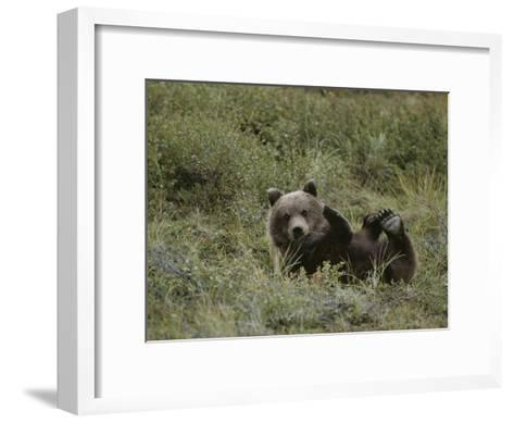A Grizzly Lounges in a Humorous Position-Michael S^ Quinton-Framed Art Print