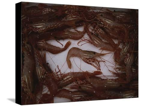 A Fresh Catch of Shrimp from Knight Inlet, British Columbia-Joel Sartore-Stretched Canvas Print