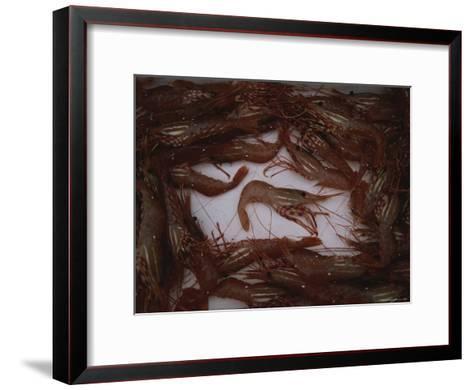 A Fresh Catch of Shrimp from Knight Inlet, British Columbia-Joel Sartore-Framed Art Print