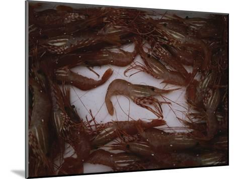 A Fresh Catch of Shrimp from Knight Inlet, British Columbia-Joel Sartore-Mounted Photographic Print