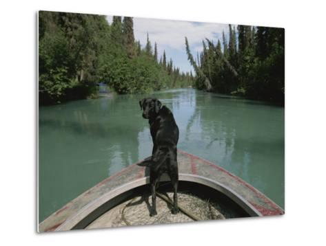A Black Labrador Dog Travels up the Kenai River on a Boats Bow-Joel Sartore-Metal Print