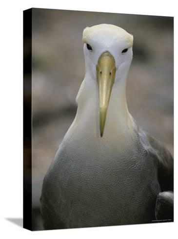 A Head-On Portrait of a Waved Albatross-Michael Melford-Stretched Canvas Print
