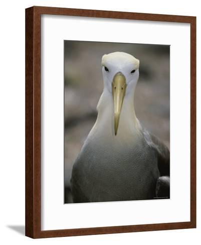 A Head-On Portrait of a Waved Albatross-Michael Melford-Framed Art Print