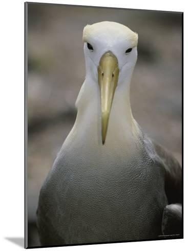 A Head-On Portrait of a Waved Albatross-Michael Melford-Mounted Photographic Print