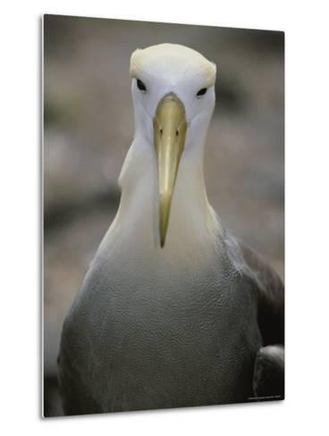 A Head-On Portrait of a Waved Albatross-Michael Melford-Metal Print