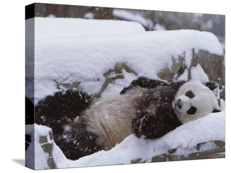A Panda in the Snow at the National Zoo in Washington, Dc-Taylor S^ Kennedy-Stretched Canvas Print