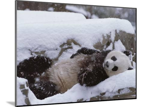 A Panda in the Snow at the National Zoo in Washington, Dc-Taylor S^ Kennedy-Mounted Photographic Print