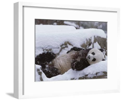 A Panda in the Snow at the National Zoo in Washington, Dc-Taylor S^ Kennedy-Framed Art Print
