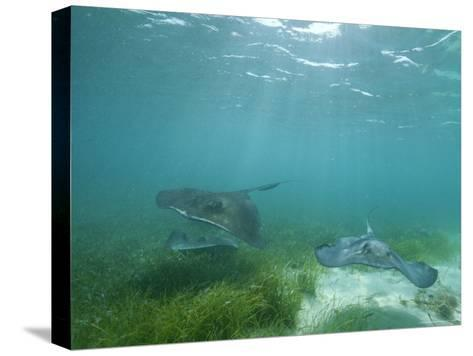 Southern Stingrays Glide Gracefully Through Pristine Waters-Wolcott Henry-Stretched Canvas Print