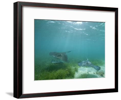 Southern Stingrays Glide Gracefully Through Pristine Waters-Wolcott Henry-Framed Art Print