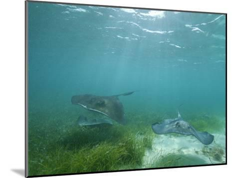 Southern Stingrays Glide Gracefully Through Pristine Waters-Wolcott Henry-Mounted Photographic Print