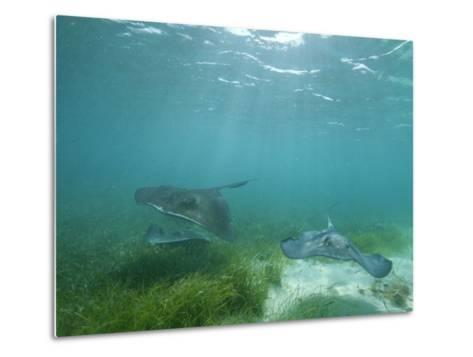 Southern Stingrays Glide Gracefully Through Pristine Waters-Wolcott Henry-Metal Print