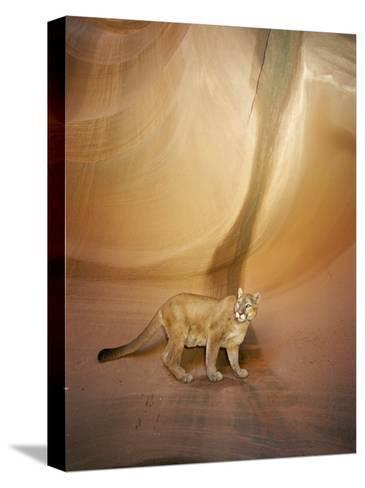 Mountain Lion on Rock Formation-Norbert Rosing-Stretched Canvas Print