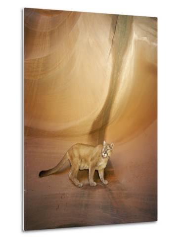 Mountain Lion on Rock Formation-Norbert Rosing-Metal Print