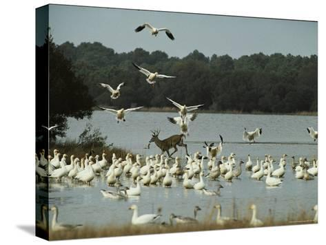 A Deer and Snow Geese in the Chincoteague National Wildlife Refuge-Medford Taylor-Stretched Canvas Print