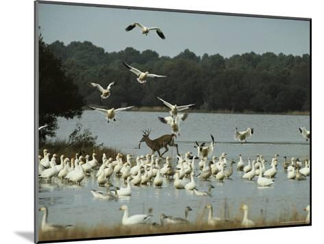 A Deer and Snow Geese in the Chincoteague National Wildlife Refuge-Medford Taylor-Mounted Photographic Print