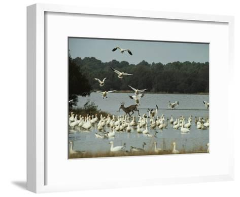 A Deer and Snow Geese in the Chincoteague National Wildlife Refuge-Medford Taylor-Framed Art Print