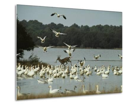 A Deer and Snow Geese in the Chincoteague National Wildlife Refuge-Medford Taylor-Metal Print