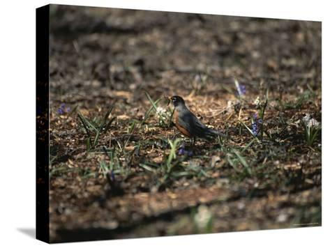 The First Robin of Spring with a Worm-Stephen St^ John-Stretched Canvas Print