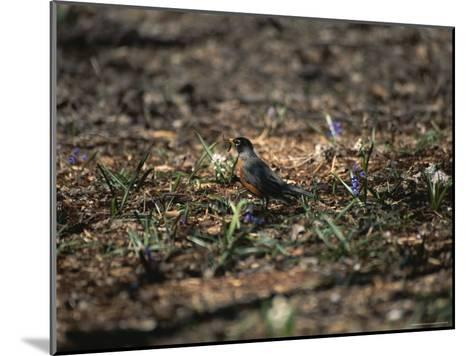 The First Robin of Spring with a Worm-Stephen St^ John-Mounted Photographic Print