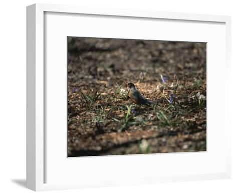 The First Robin of Spring with a Worm-Stephen St^ John-Framed Art Print