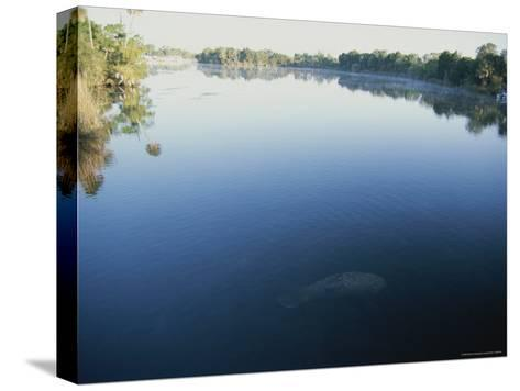 A Wild Manatee Swims Down the Scenic Homosassa River in Early Morning-Stephen St^ John-Stretched Canvas Print