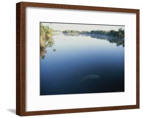 A Wild Manatee Swims Down the Scenic Homosassa River in Early Morning-Stephen St^ John-Framed Art Print