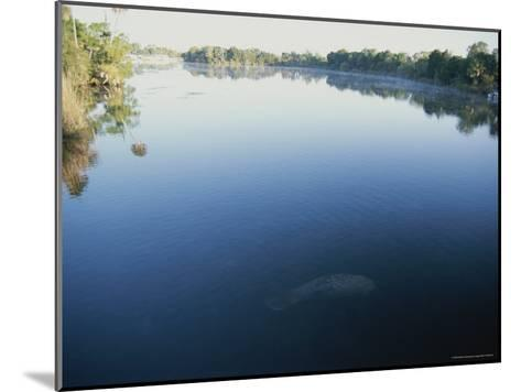 A Wild Manatee Swims Down the Scenic Homosassa River in Early Morning-Stephen St^ John-Mounted Photographic Print
