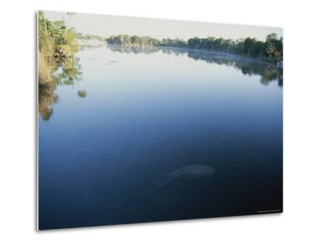 A Wild Manatee Swims Down the Scenic Homosassa River in Early Morning-Stephen St^ John-Metal Print
