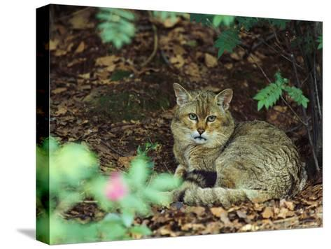 Wildcat in Forest--Stretched Canvas Print