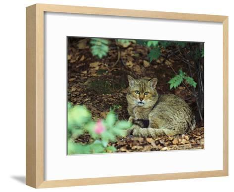 Wildcat in Forest--Framed Art Print