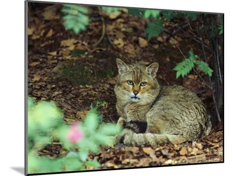 Wildcat in Forest--Mounted Photographic Print